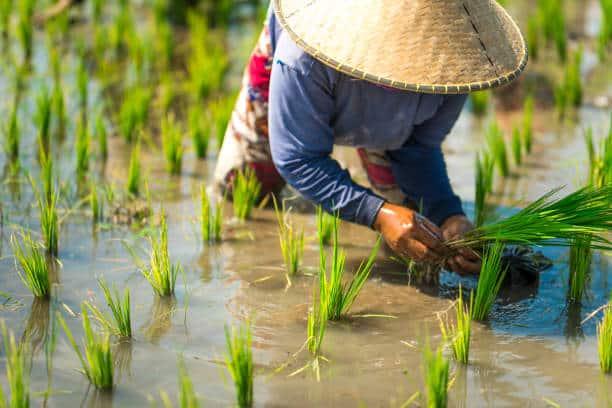 Salty farmlands affecting local rice varieties