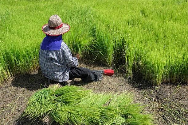 Restoring Rice Varieties