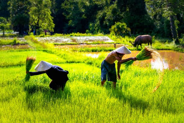 re-emergence of local rice varieties