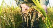 Rice Varieties by Bangladeshi Farmers