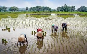 Arsenic in Rice: Finding Solutions to Contamination