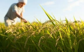 China to Increase Food Supply Through Rice Variety Cultivation