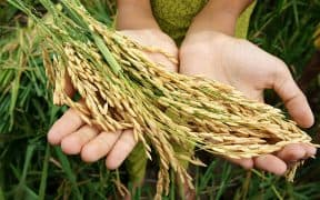 Biofortified Rice and Wheat for Malnutrition Prevention